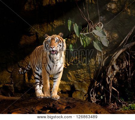 Siberian tiger stand on the rock with dark background