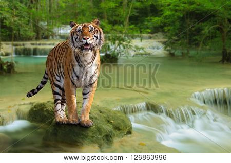 Siberian tiger stand on the rock in waterfall