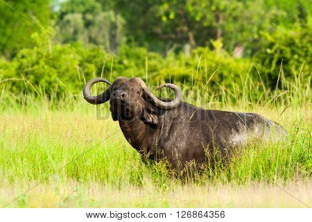 Wild African buffalo looking at the camera