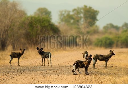 Pack of wild African wild dogs hunting