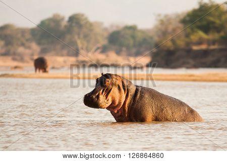 Wild African hippo relaxing in a waterhole