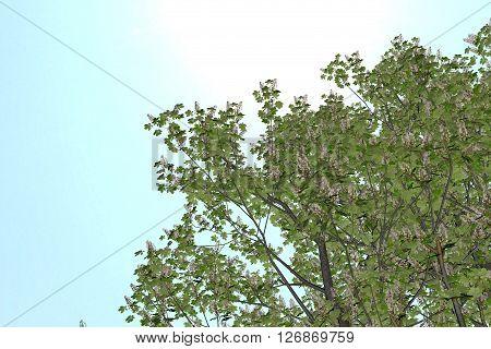 Buckeye Rosskastanie Aesculus hippocastanum on clean Background. Nice 3D Rendering