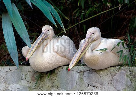 Great white pelican (Pelecanus onocrotalus). Two pelicans with long beaks. ** Note: Visible grain at 100%, best at smaller sizes