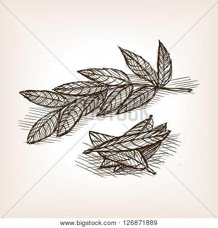 Bay leaves sketch style vector illustration. Old engraving imitation. Bay leaves hand drawn sketch imitation