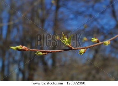 Spring awakening of nature on a tree branch.