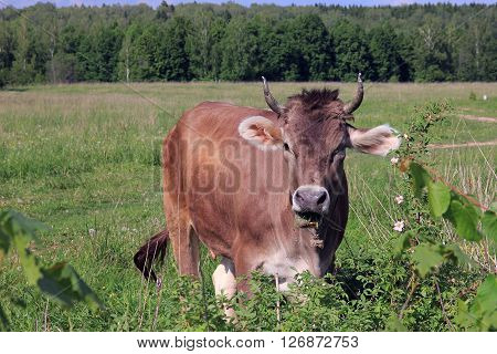 brown cow with horns looking at us and the picturesque rural meadow and forest view in background