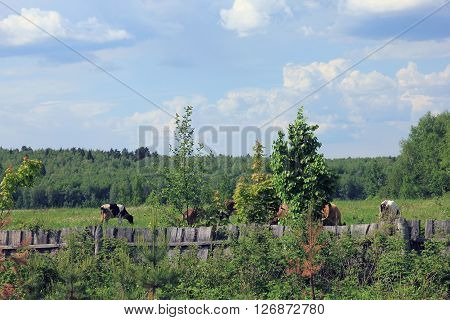 black and white and brown cows with horns graze in the picturesque rural meadow behind the wooden board fence and forest view in background