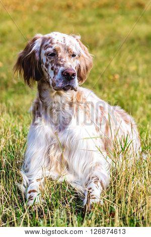 dog breed Irish Setter color marble white
