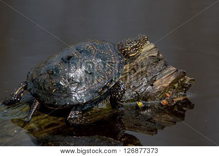European pond turtle (Emys orbicularis) on a log in pond
