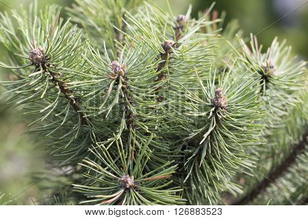 Needles on a pine branch close up