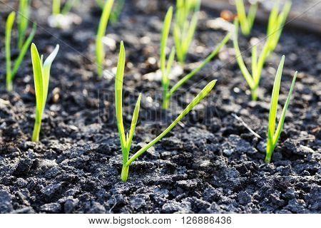 Young small green sprouts on an empty bare ground