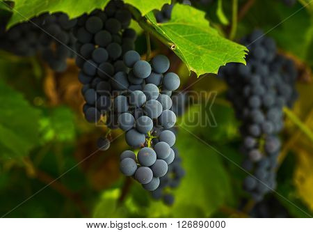 Ripe Clusters Of Sweet Red Grapes