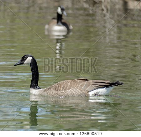 A Canada Goose (Branta canadensis)  swimming on a lake in York County Pennsylvania USA.  Shown in left profile with another goose  (blurry) in the background.