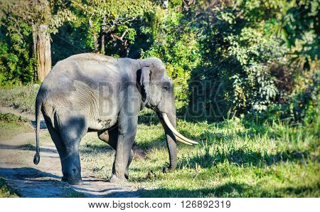 Indian Elephant with long tusk in the jungle
