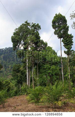 Deforestation: Environmental problem of rainforest destroyed to make way for oil palm plantation