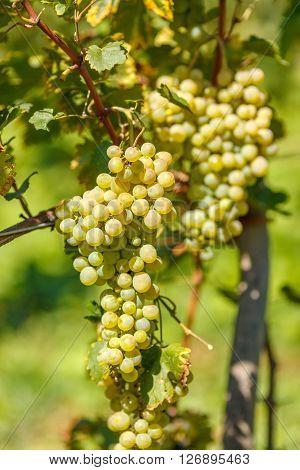 Ripe White Grape Cluster