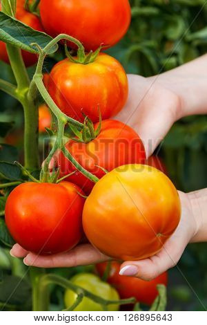 Hand Showing Ripe Tomato Cluster
