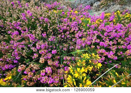 Heather and yellow gorse flower closeup in Brittany France