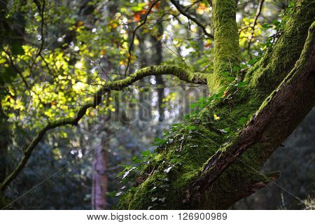 Poison Ivy Growing On A Mossy Tree Trunk In A Deciduous Forest