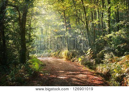 Walkway In A Green Deciduous Forest On A Foggy Sunny Morning