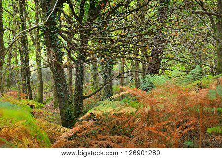 Deciduous autumn oak forest with brown and green ferns