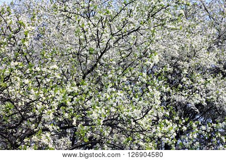 Spring blossom background. Springtime. Beautiful white spring flowers on tree.