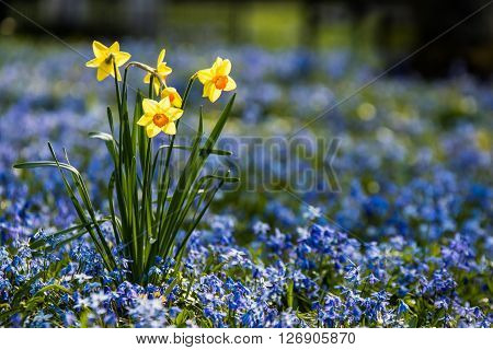 A Daffodil in the park, surrounded by Scilla