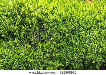 Bright green moss. Early spring, moss young