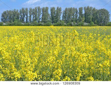 Springtime in Lower Rhine Region in Rhineland near Monheim am Rhein,North Rhine Westphalia,Germany