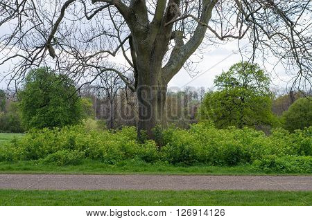 Wild nature area left around tree in Kensington Gardens, London. A patch of Alexanders (Smyrnium olusatrum) is left in an otherwise maintained landscape providing habitat for wildlife