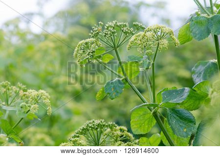 Alexanders (Smyrnium olusatrum) plant in flower. Pungent plant in the family Apiaceae with pale green and white flowers