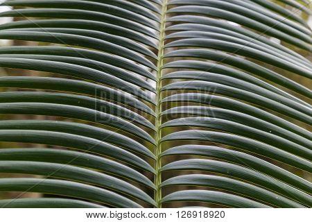 leaf tropical tree - palm ( cycas revoluta ) closeup on the blurry green background.