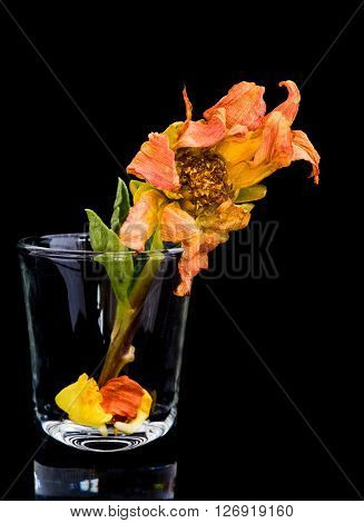 Vertical image of an orange dying dahlia flower on a pot isolated on a black background