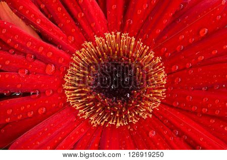 Horizontal close-up image of a red elegant Dahlia flower with yellow stamen and covered with water drops