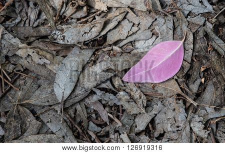 Single violet leaf on the ground with foliage from dead leaves.