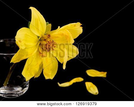 Yellow wither dying dahlia flower on a glass pot isolated on a black background