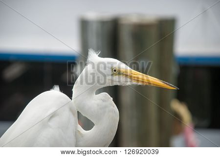 Portrait of a Great Egret, Florida, USA