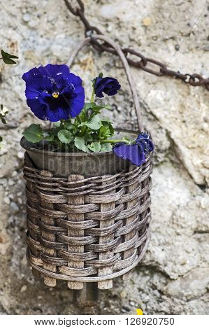 A basket with a Little pansy in lilac