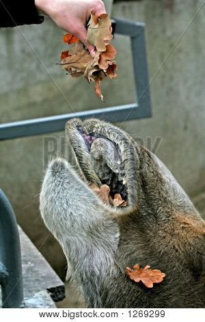 Insatiable Camel Mouth.