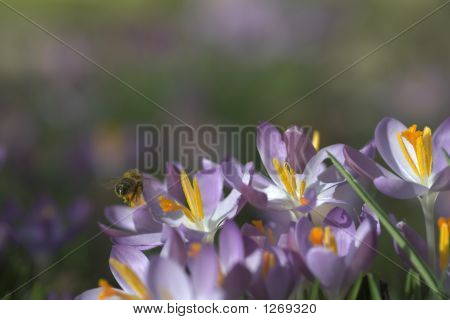 Bee Approaching Crocusses