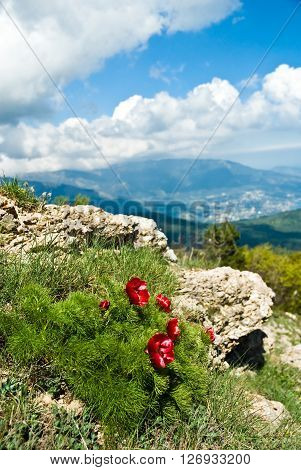 Red Mountain peonies (peony angustifolia) on a background of mountains ** Note: Shallow depth of field