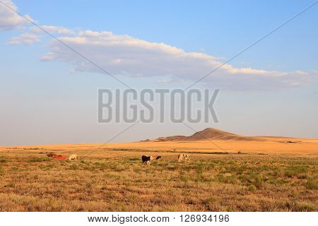 Grazing cows in the desert landscape of the plains. Lone hill. A hot summer evening and the blue sky