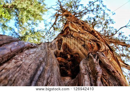 Twisted tree growing into the blue sky