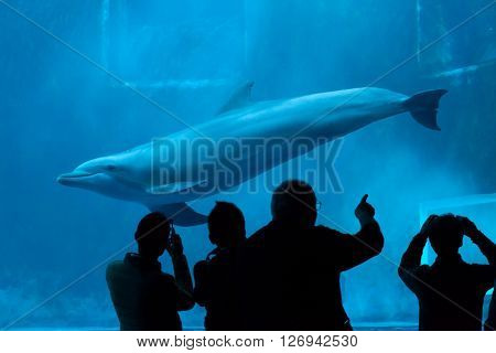 GENOA, ITALY - MARCH 22, 2016: Visitors observe as the common bottlenose dolphin (Tursiops truncatus) swims in the Genoa Aquarium in Genoa, Liguria, Italy.