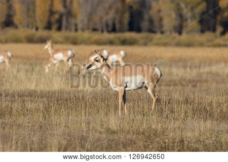 a pronghorn antelope doe on the prairie