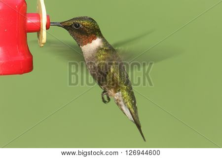 Male Ruby-throated Hummingbird (archilochus colubris) in flight at a feeder with green background
