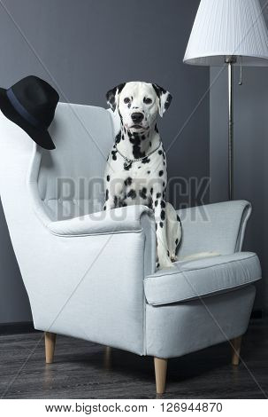 dalmatian dog in a chair studio photoshoot