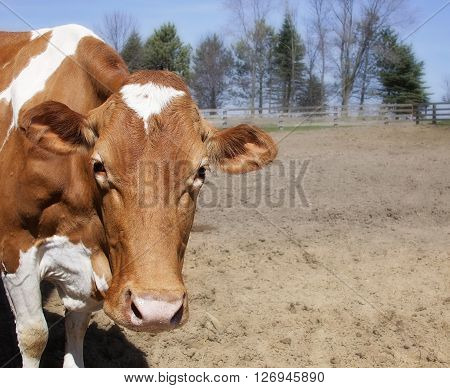 Head and shoulders image of a Guernsey cow looking at the camera.  Springtime in Wisconsin.