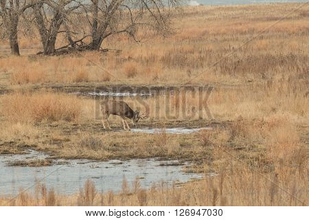 a mule deer buck getting a drink at a partially frozen pond
