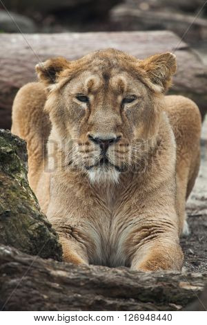 Female Asiatic lion (Panthera leo persica), also known as the Indian lion. Wild life animal.
